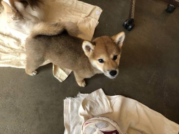 柴犬(豆柴サイズ)